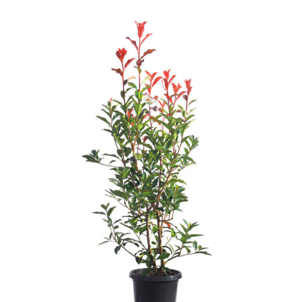 Photinia red robin 30cm 300mm