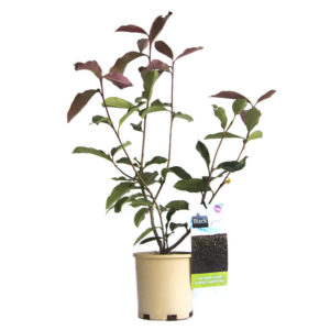 Photinia Black Jack 140mm