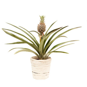 Pineapple Bromeliad White 150mm