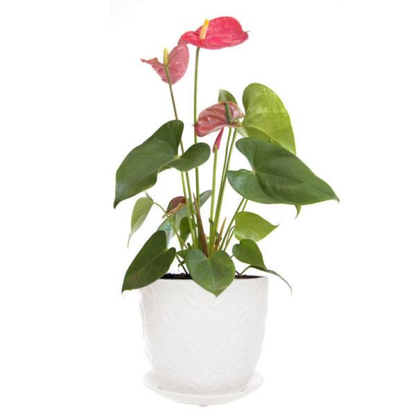 pink anthurium white ceramic