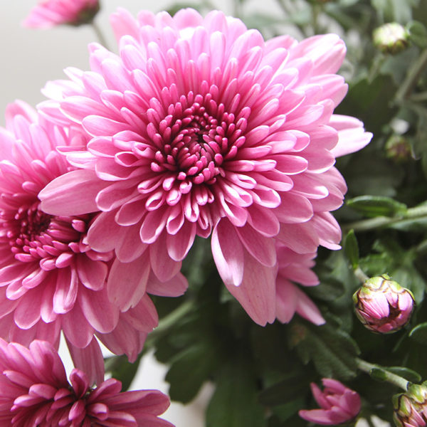 Pink-chrysanthemum