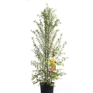 Pittosporum golden sheen 20cm 200mm