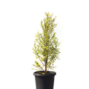 Pittosporum golden sheen 30cm 300mm