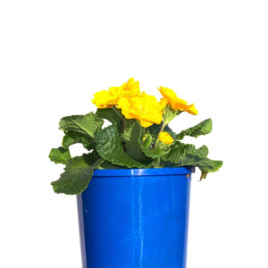 Potted Colour Yellow 12cm 120mm