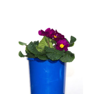 Potted Colour Purple 12cm 120mm