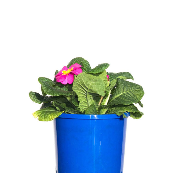 Potted Colour Pink 12cm 120mm