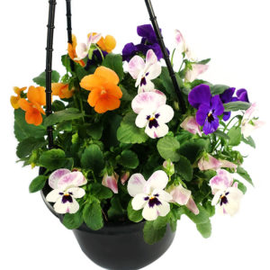 Potted Colour Hanging Basket