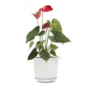 Red Anthurium white ceramic pot