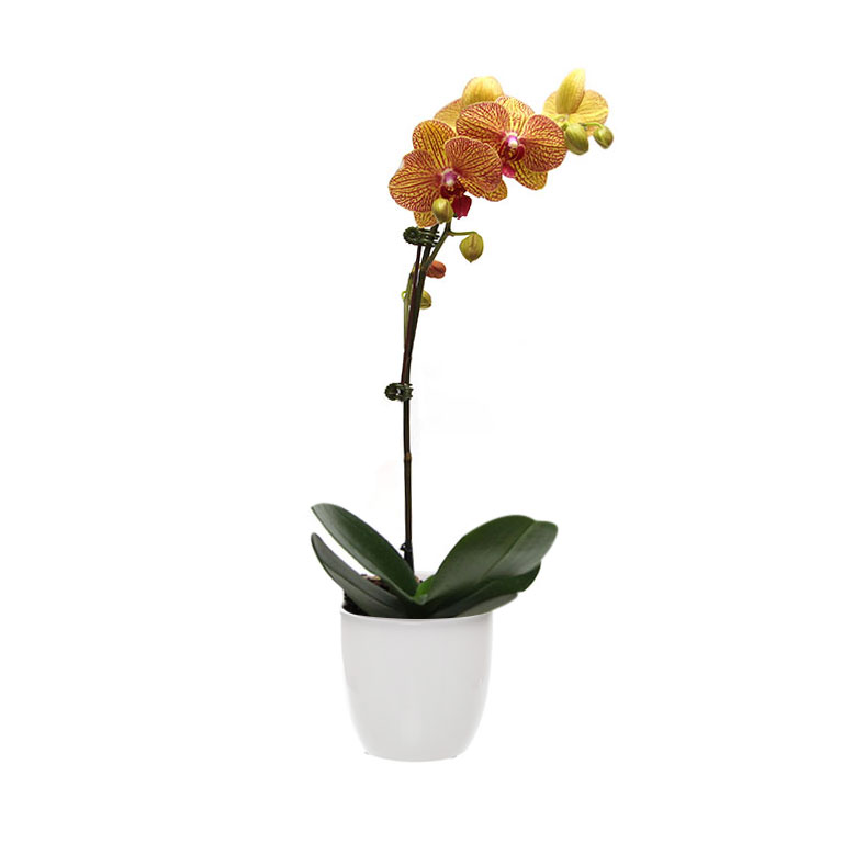 red yellow orchid phalaenopsis