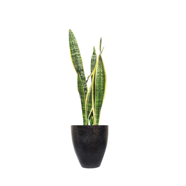 Sanseveria Mother in Laws Tongue Black Terrazzo Office Sydney Plants