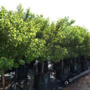 Sapium Chinese Tallow Wood 100L Field