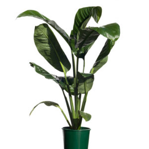 Spathiphyllum Sensation 20cm 200mm