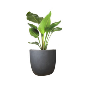 Strelitzia Bird of Paradise Egg Planter Granite