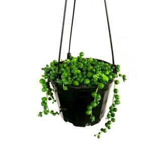 String of Pearls Succulent Hanging Basket