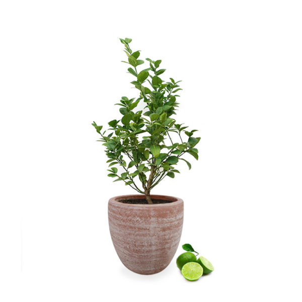 Sublime Patio Lime in egg planter