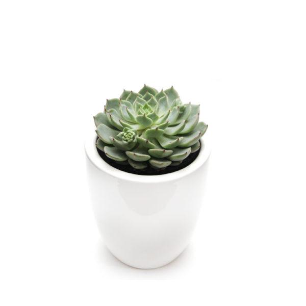 Succulent Echeveria Mini White Ceramic Pot