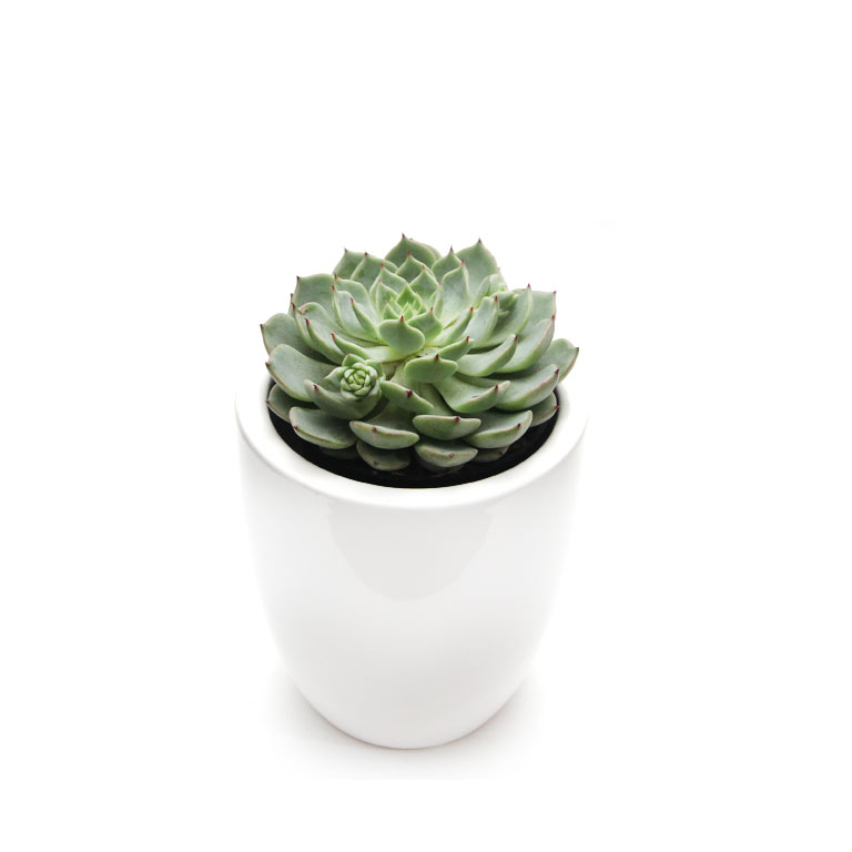 Succulent Echeveria Quot Sunny Quot In White Or Black Mini Ceramic