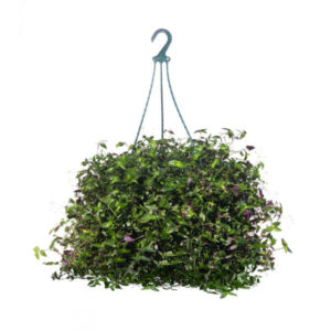 Tahitian Bridal Veil Hanging Basket 20cm 200mm