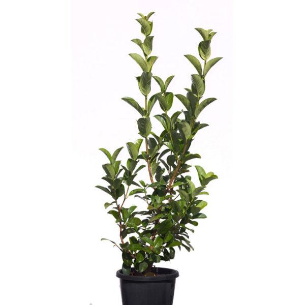 Viburnum odoratissimum sweet 17cm 170mm