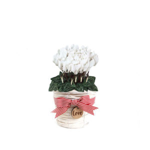 White Cyclamen Wicker love