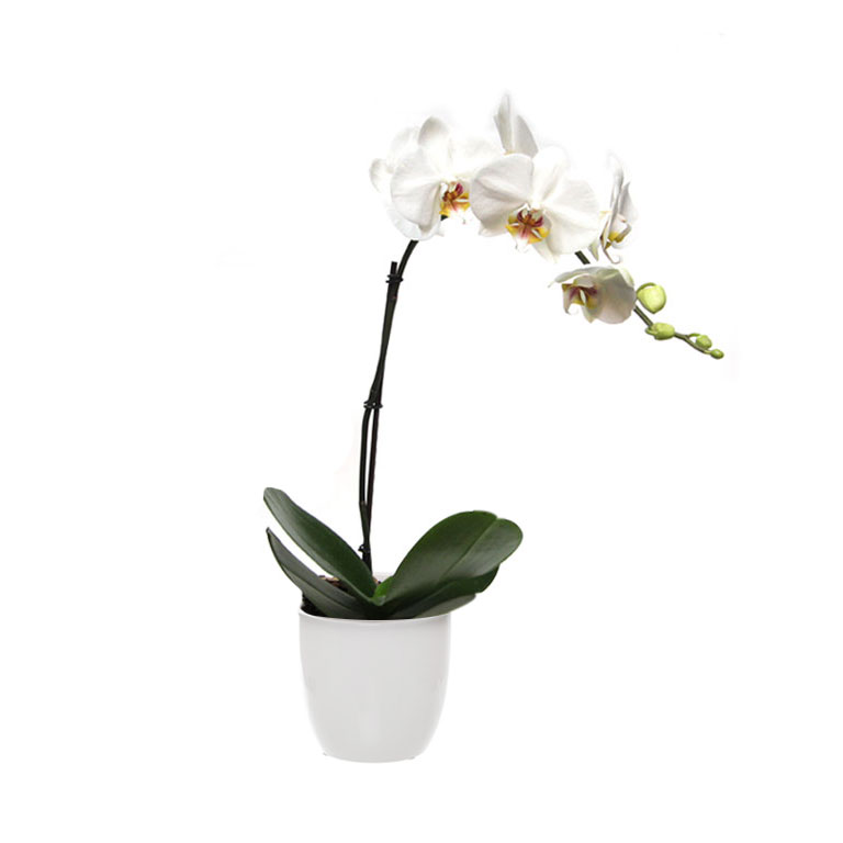 white orchid phalaenopsis ceramic pot