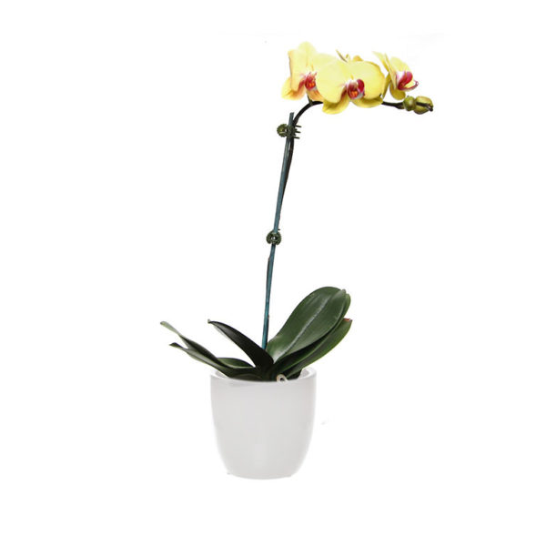yellow orchid ceramic white 2