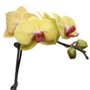 Yellow Orchid Ceramic White Gift Plant Close Up
