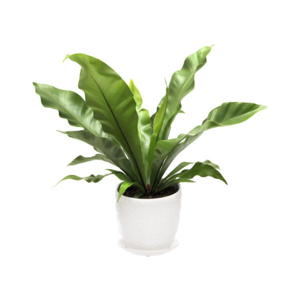 birds nest fern in white ceramic