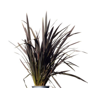 phormium black beauty 20cm 200mm