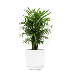Parlour Palm Gift Plants Delivered
