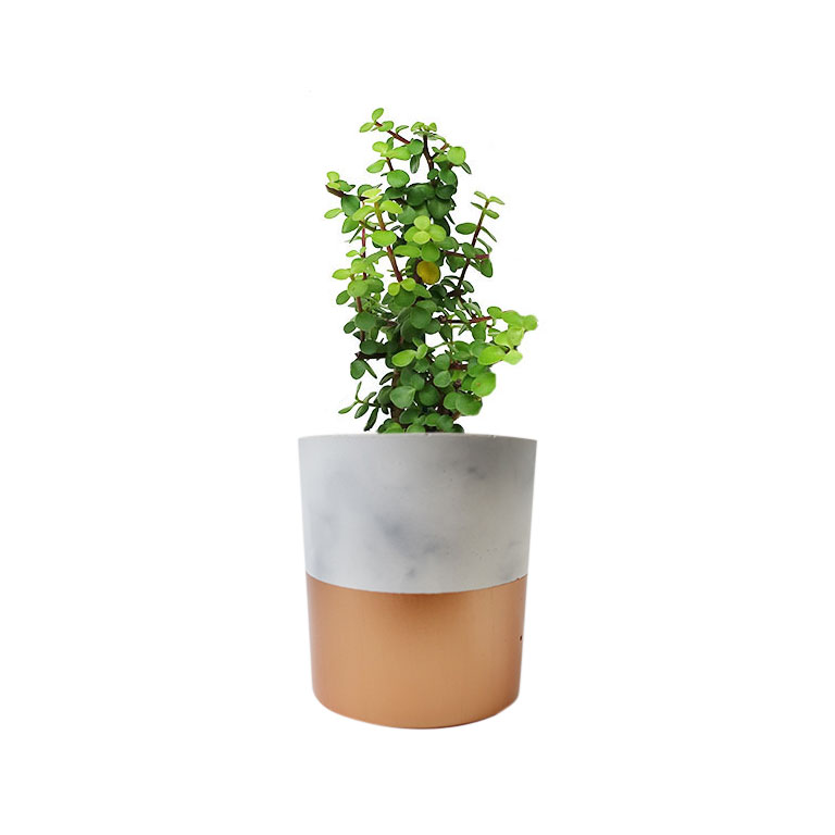 Jade Money Tree Concrete Gold