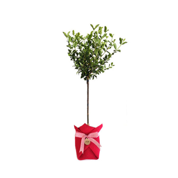Gardenia Standard Hessian Christmas Gift Plant