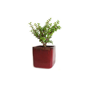 Jade Plant Money Tree Ceramic