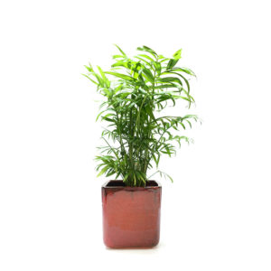 Parlour Palm Ceramic Red Gift Plant Sydney