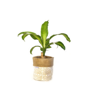 Happy Plant Dracaena Fragrans Planter Bag