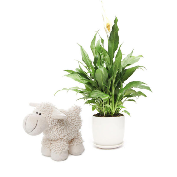 Peace Lily Sheep Toy Living Gift Set