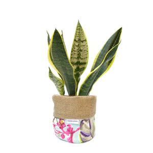 Mother in Law Tongue Plant Bag Floral Gift Plant Sydney