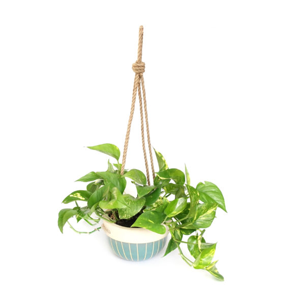 Devils Ivy Hanging Basket Rope Light Blue