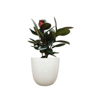 Ficus Elastica Rubber Plant Egg Planter Matt Black