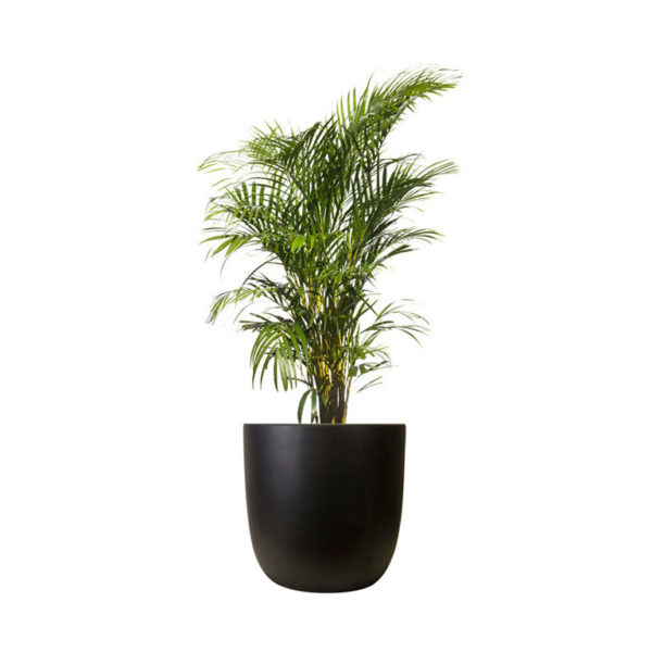 Golden Cane Palm Egg Planter Black