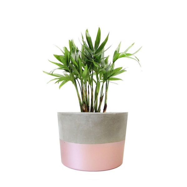 Parlour Palm in concrete pot gift rose gold