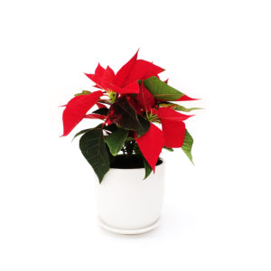 Poinsettia Ceramic Christmas Gift Plant