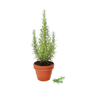 Rosemary Terracotta Pot