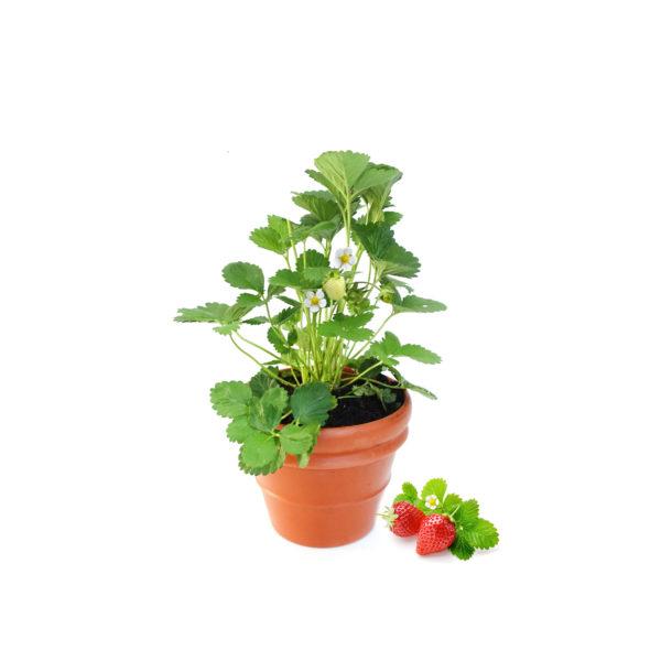Strawberry Terracotta