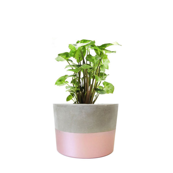 Syngonium Concrete Pot Rose Gold