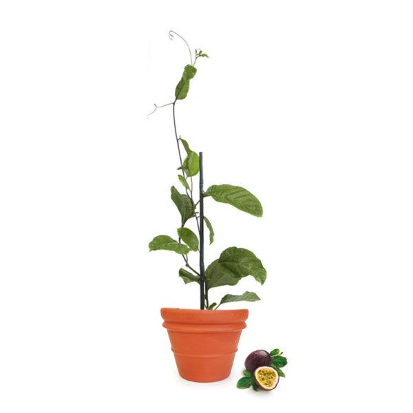 Passionfruit Terracotta Pot