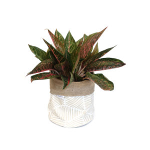 Aglaonema Chinese Evergreen in Planter Bag