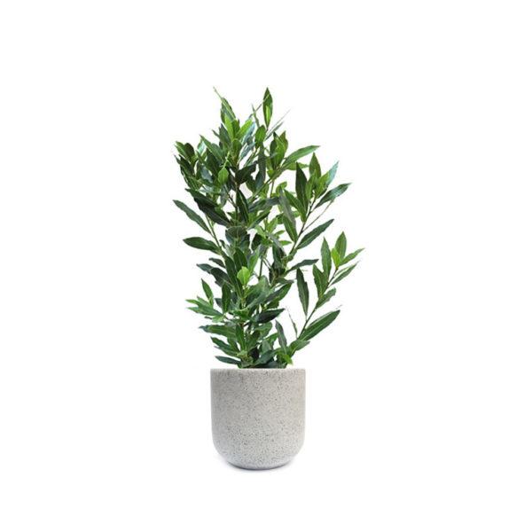 Bay Laurel Living Gift Plant