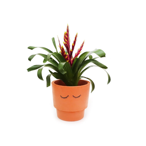 Bromeliad Vriesea Eyes Shut Terracotta