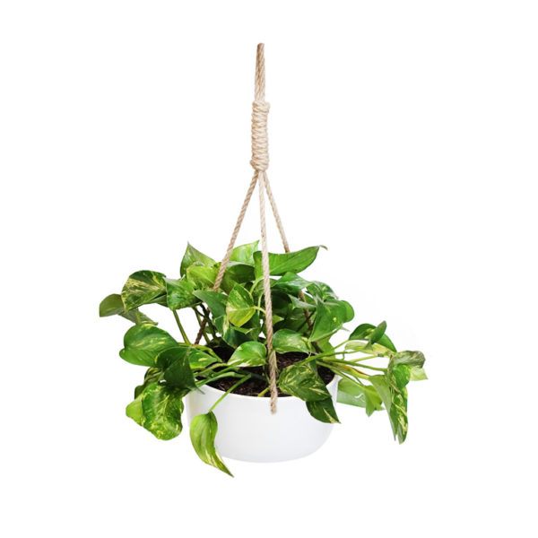 Devils Ivy Large Hanging Basket
